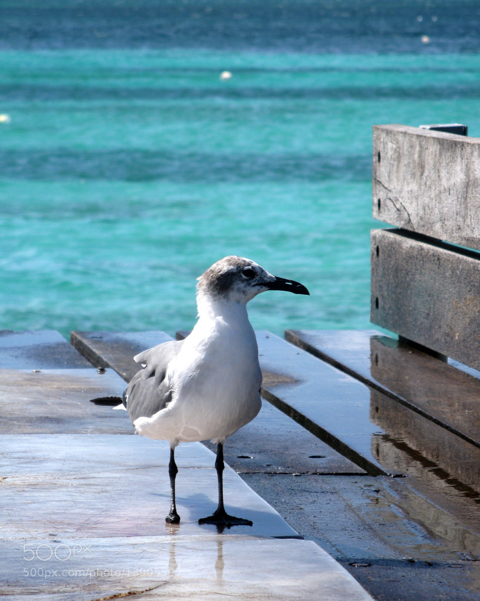 Photograph One Footed Gull by Rachelle Palmer on 500px