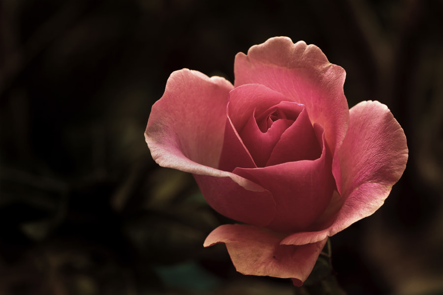 Photograph Sweet Pink Rose by Sanya Ad on 500px