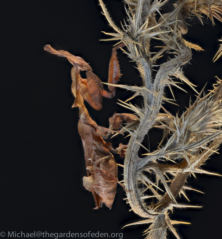 Photograph Phyllocrania, Ghost Mantid by Michael Kern on 500px