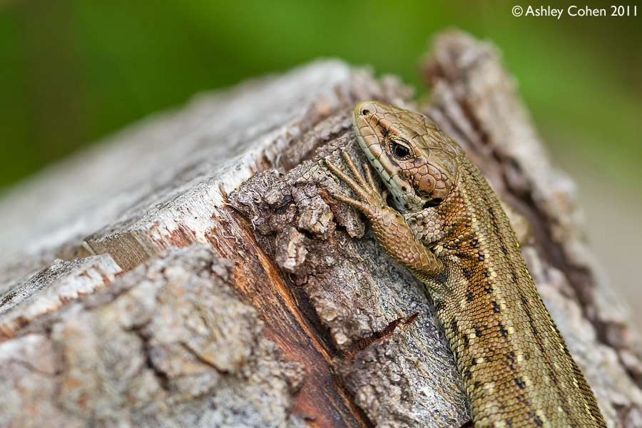 Photograph Female Common Lizard  by Ashley Cohen on 500px