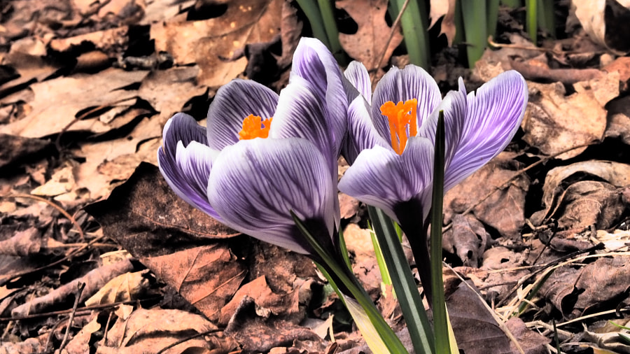 Crocus by John Poltrack on 500px.com