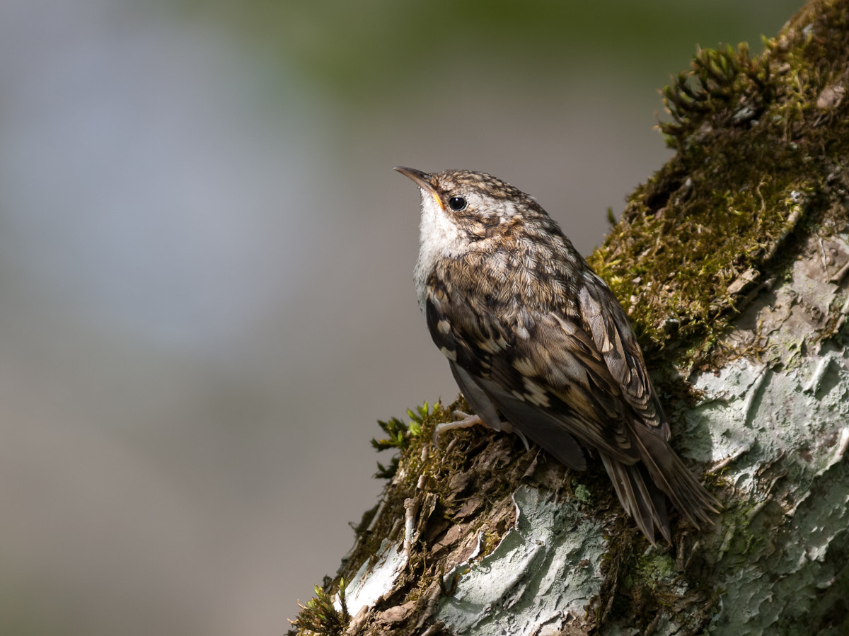 Photograph treecreeper by Carlos Urtasun on 500px