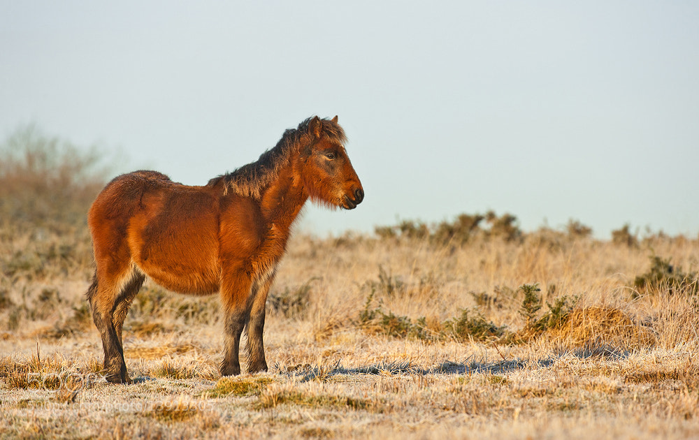 Photograph Wild Pony by Geoffrey Baker on 500px