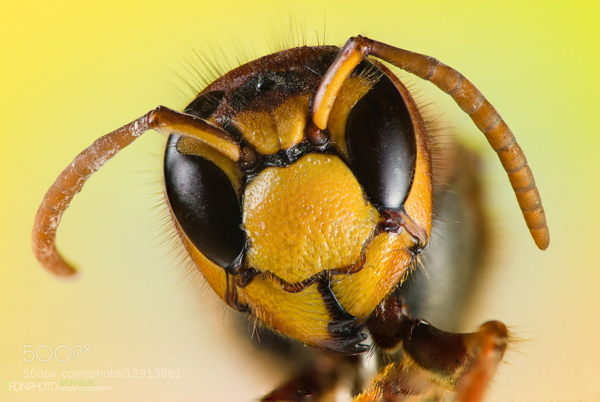 Photograph European Hornet by Redzicowszki  on 500px