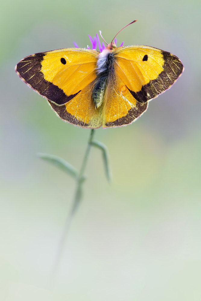 Photograph Clouded Yellow (Colias croceus) by Christoph Jansch on 500px
