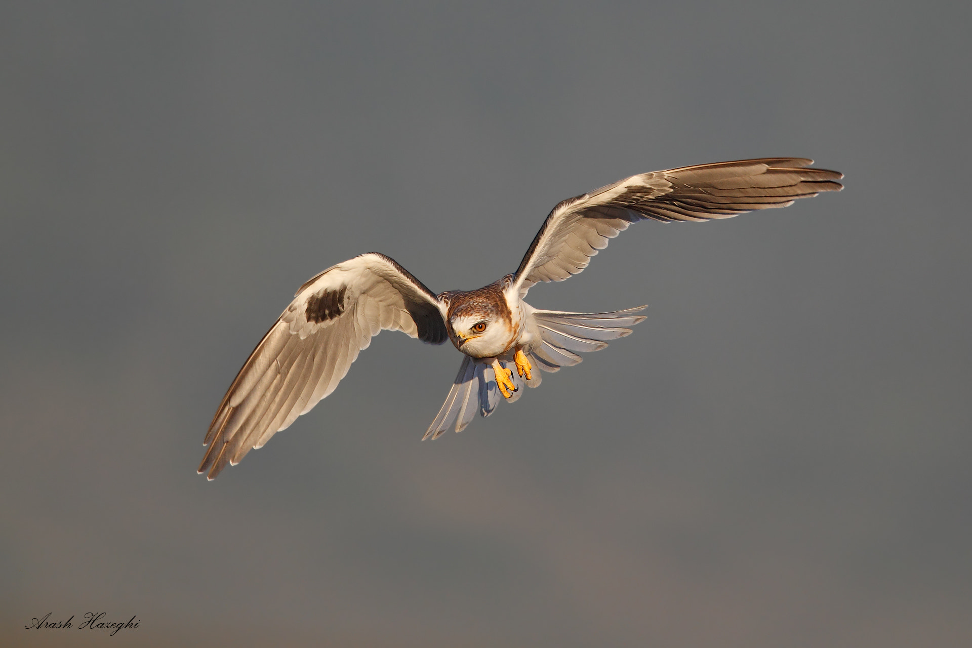 Photograph White-tailed kite by Ari Hazeghi on 500px