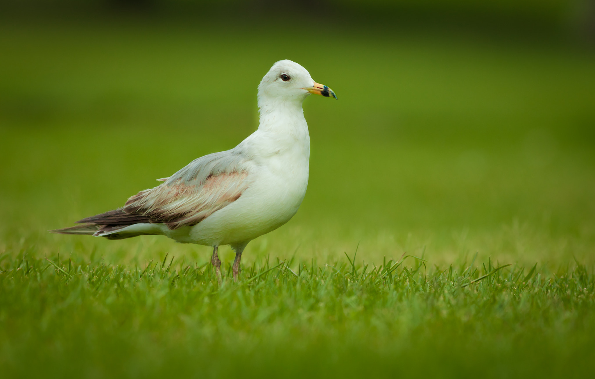 Photograph Seagull by Hani Alharthi on 500px
