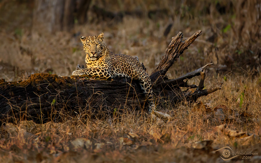 Last Light Leopard by Chris Petersen on 500px.com