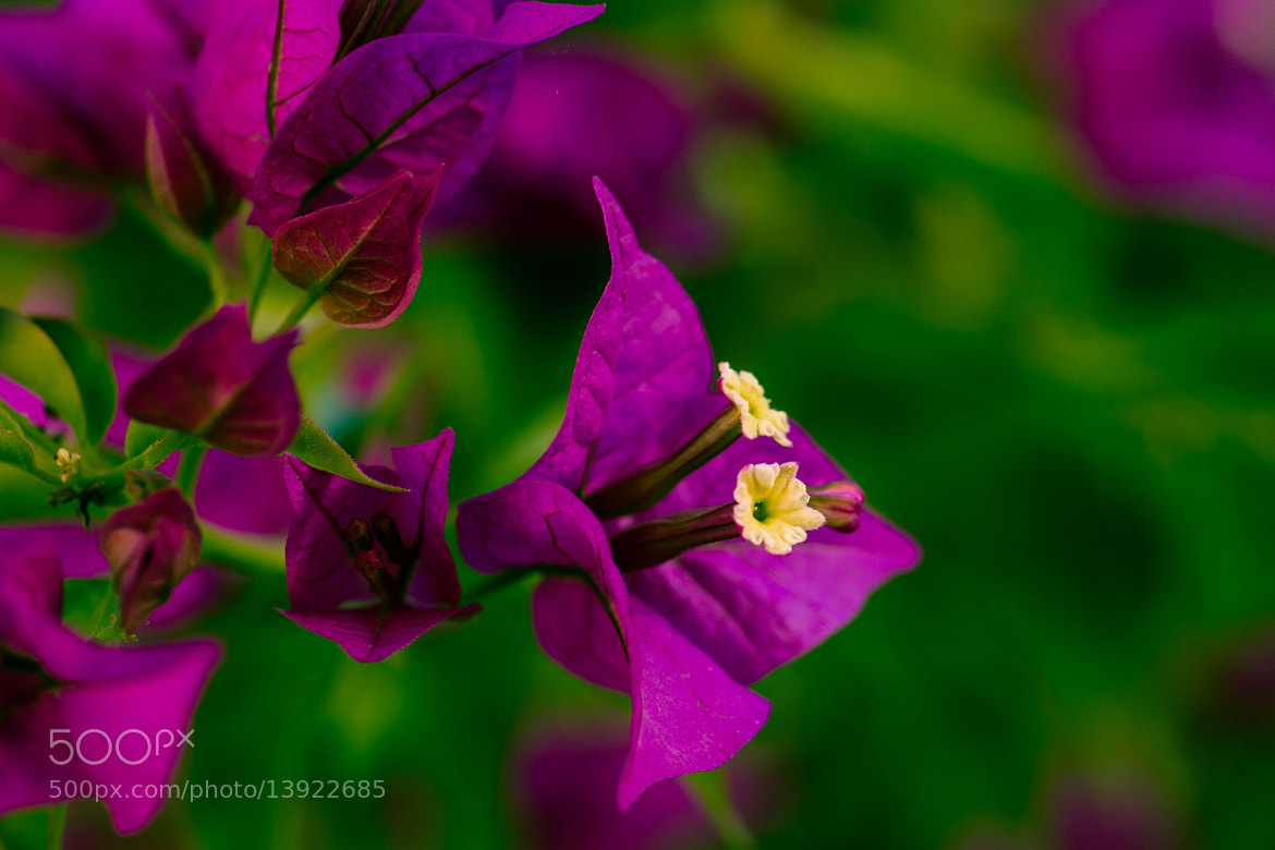 Photograph Bougainvillea by Dan Pascu on 500px