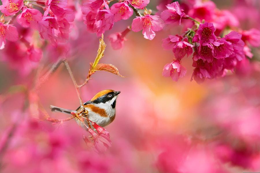 ~ Cherry blossom season ~ by FuYi Chen on 500px.com