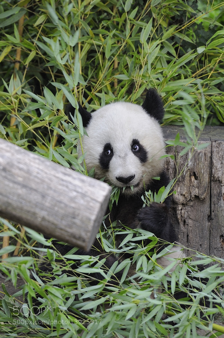 Photograph Panda Cuteness by Josef Gelernter on 500px
