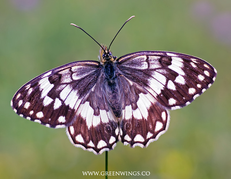 Photograph Balkan Marbled White by Matt Berry on 500px