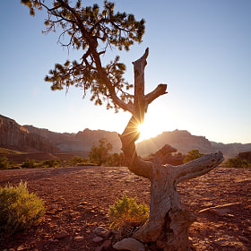 I tested several points of view during this morning, before I found the perfect place to frame the sun in this little tree. Taken in the Capitol Reef National Park (USA).