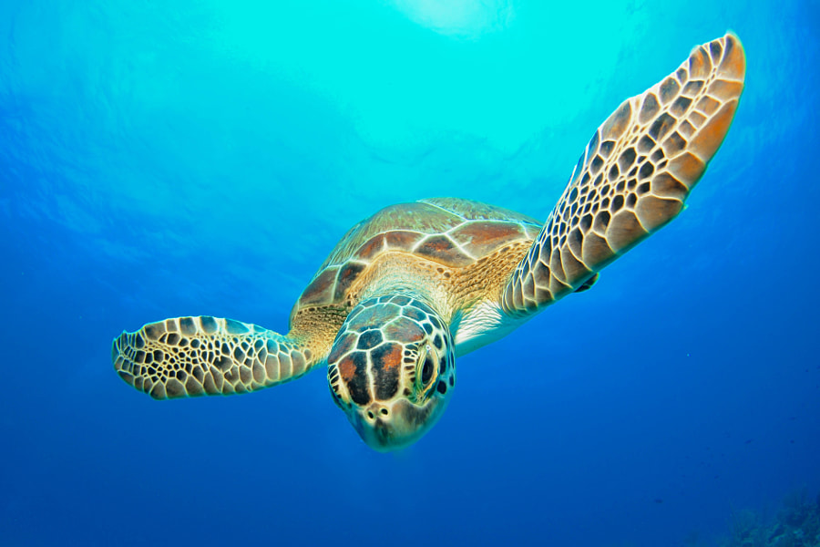 Baby Green Sea Turtle by Charlie Reaney on 500px.com