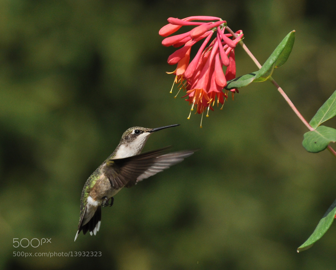 Photograph Hummingbird 1 by Judy Borron on 500px