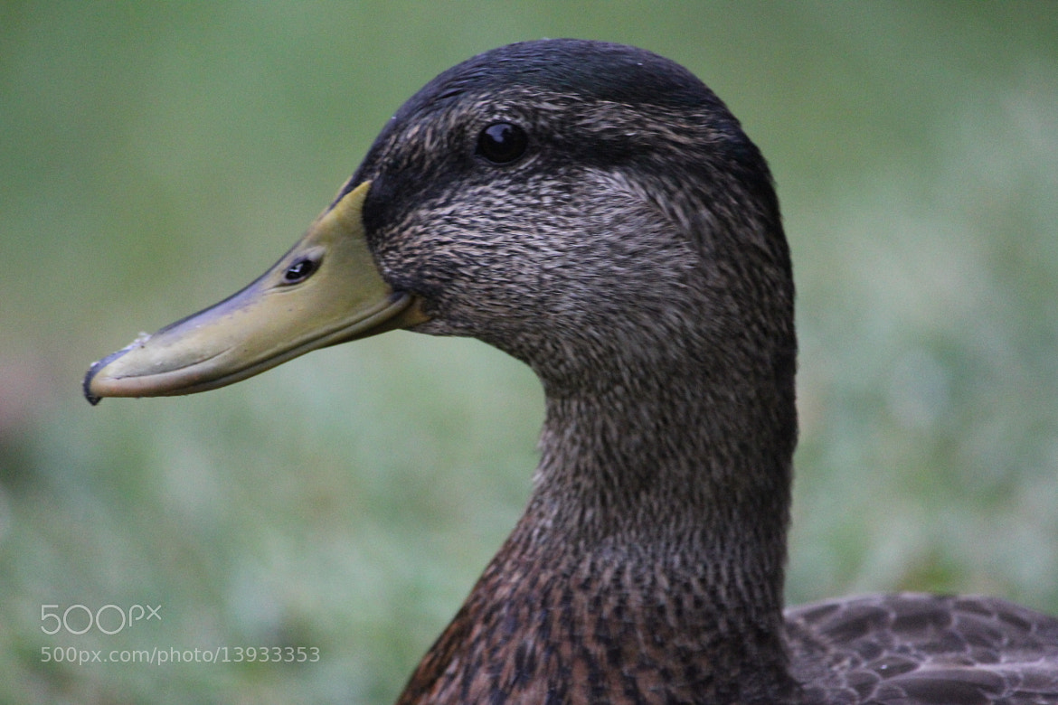 Photograph wild mallard duck by Mary Fontenot on 500px