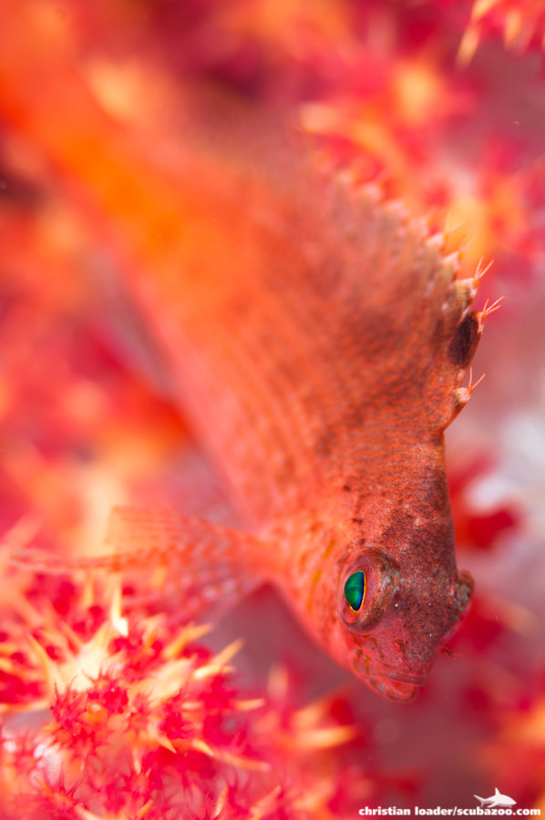 Photograph Hawkfish Hideout by Christian Loader on 500px