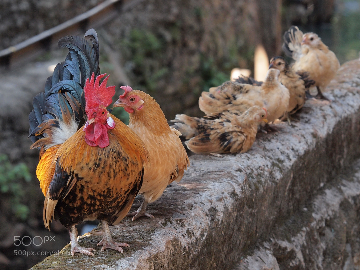 Photograph The Chicken Family by Atmaji Widiyuswanto on 500px