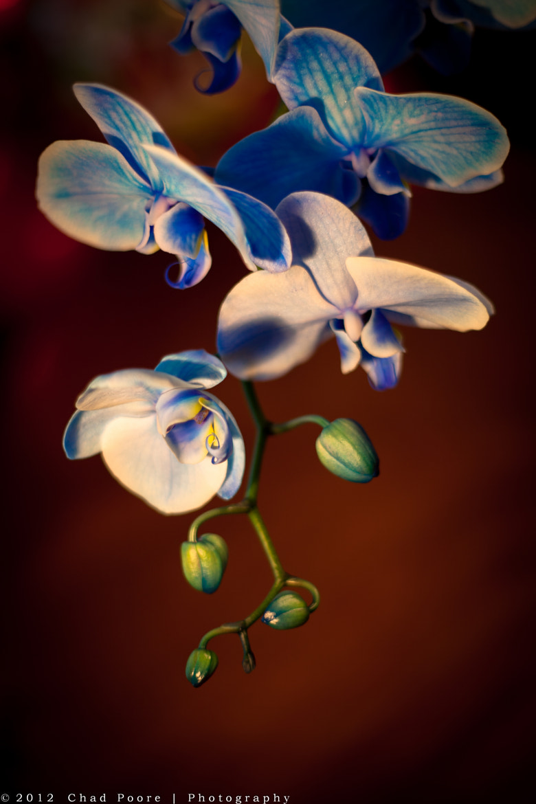 Photograph Cascading orchid blooms by Chad Poore on 500px