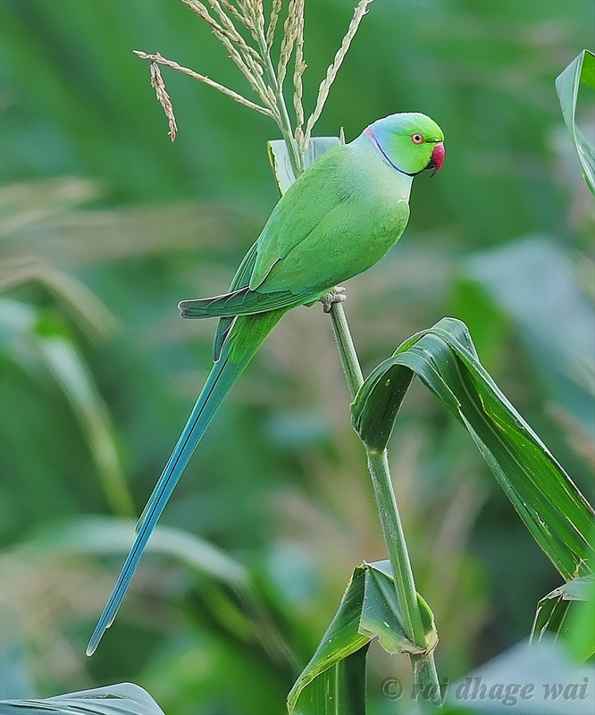 Photograph Rose Ringed Parakeet by raj dhage on 500px