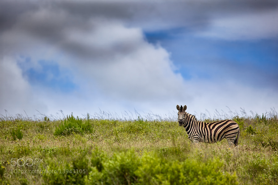 Photograph Zebra Plains by Mario Moreno on 500px