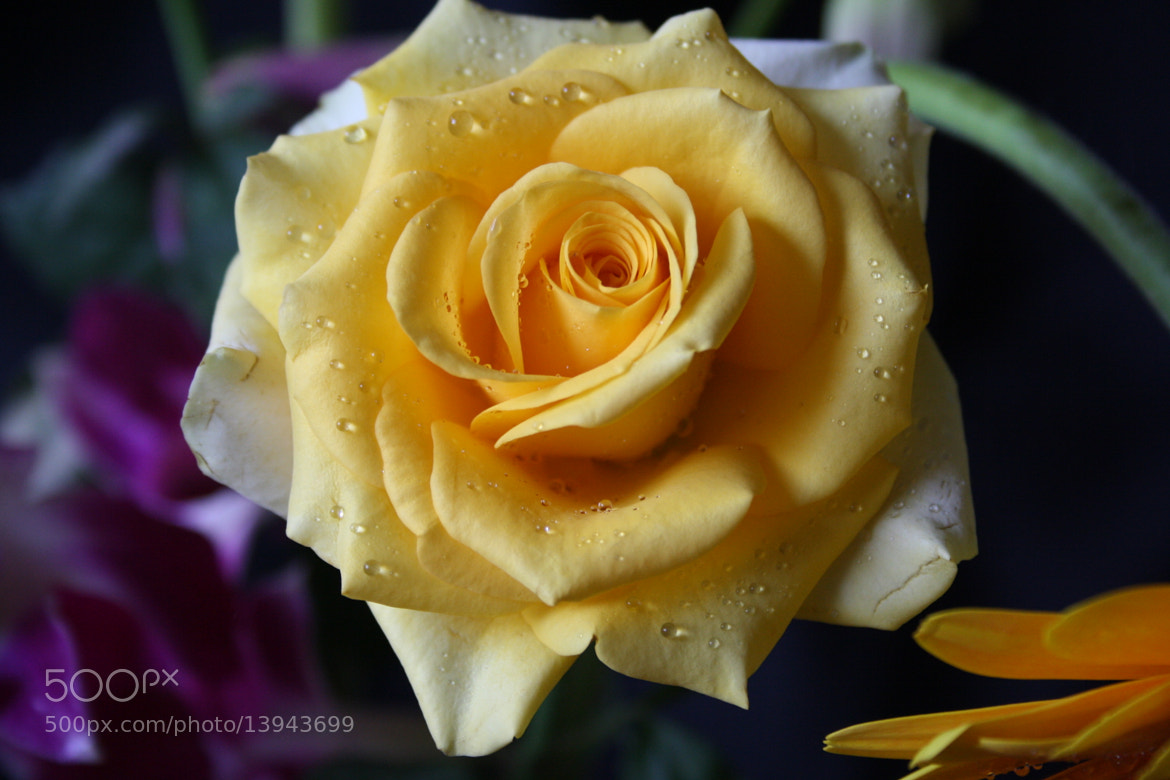 Photograph Yellow Rose by Sastry Govindu on 500px
