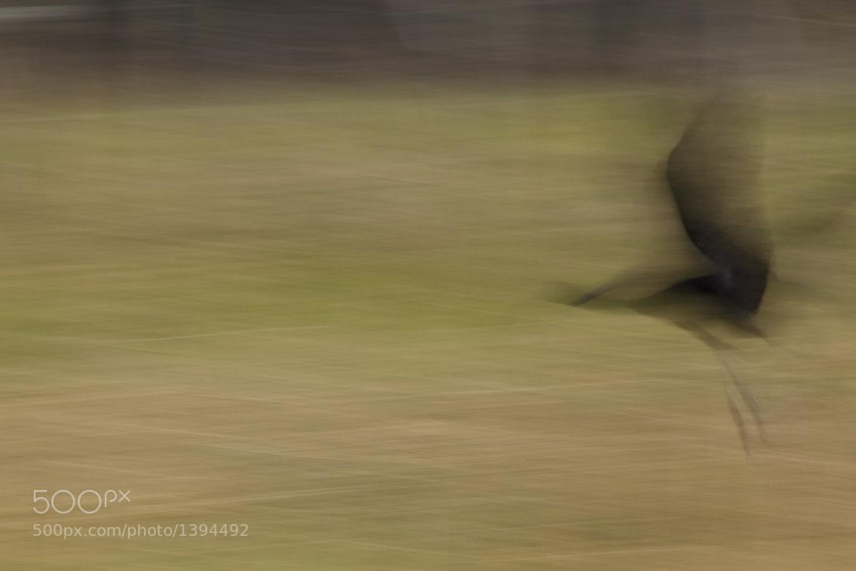 Photograph Streaking Black Bird by Larry Flynn on 500px