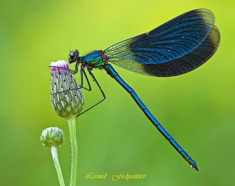 Photograph The Banded Demoiselle by Leonid Fedyantsev on 500px