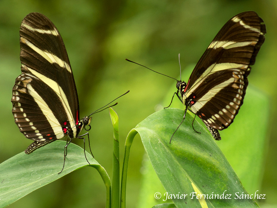 Photograph Two butterflies. by Javier Fernández Sánchez on 500px