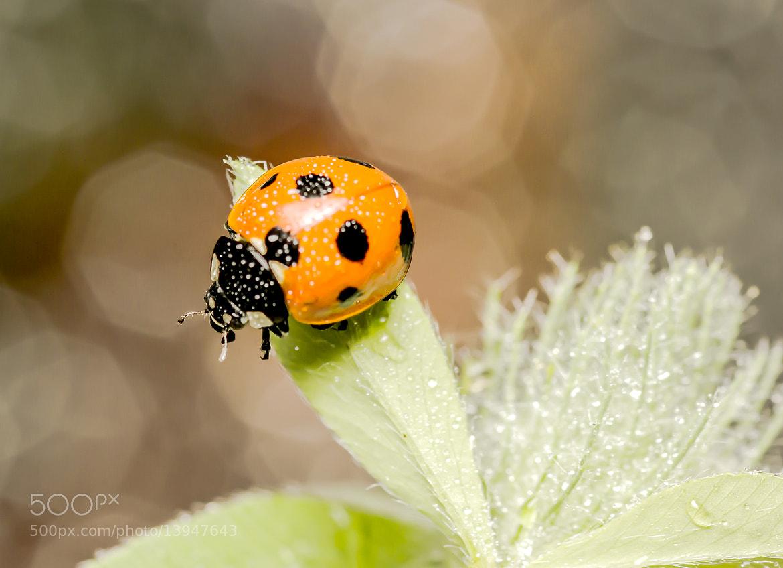 Photograph Beetles. by OKAWA โอ๋กะหว้า. somchai on 500px