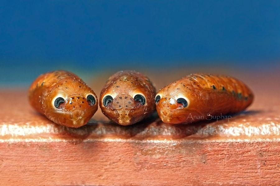 Photograph Pupa by Anan Suphap on 500px