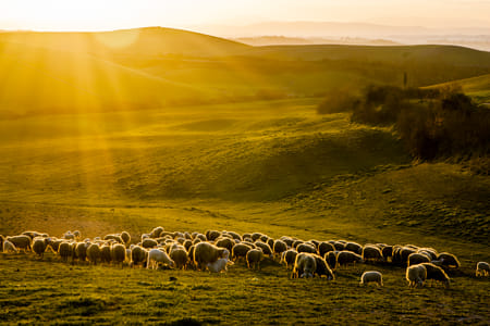 Sheep at sunset by Heather Balmain on 500px