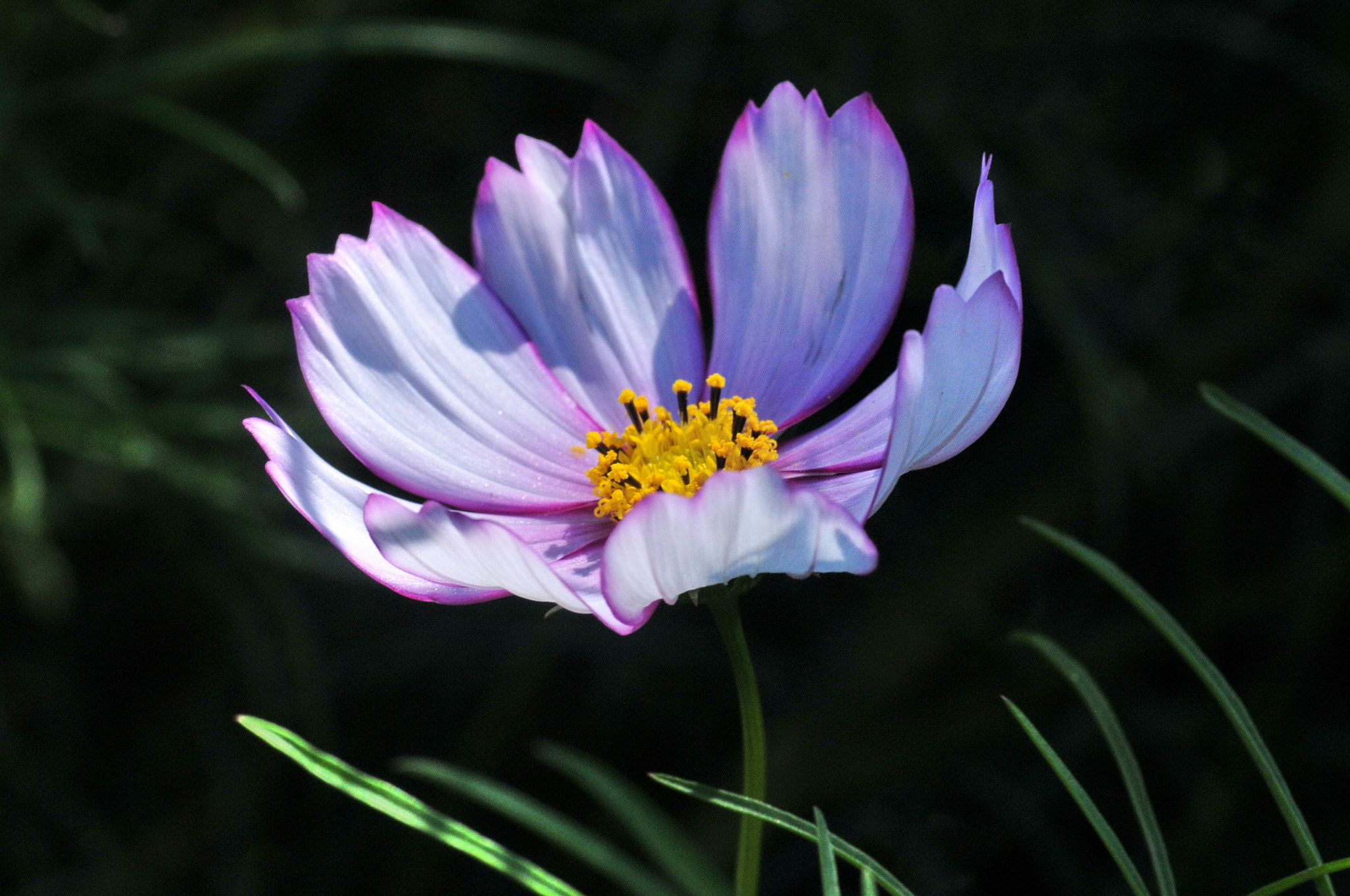 Photograph ★ Cosmos -2 by KEN OHSAWA on 500px
