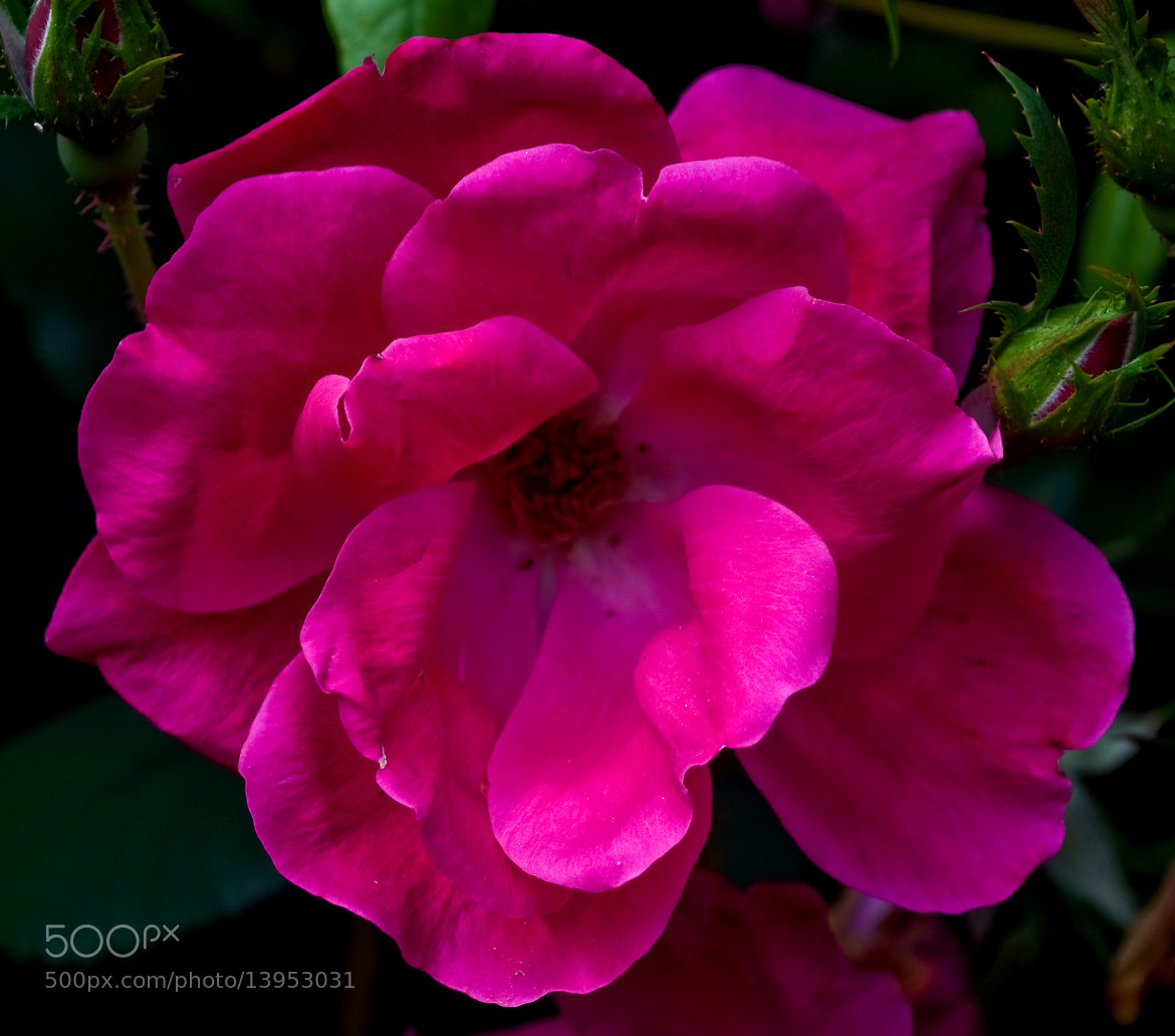 Photograph Knock Out Rose by Mark Luftig on 500px