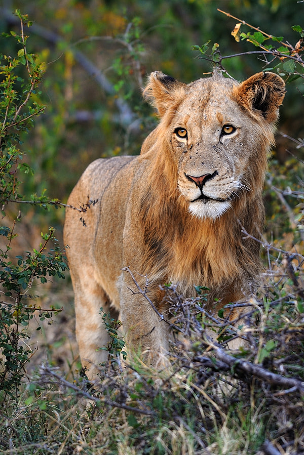 Photograph Young lion by Bostjan P. on 500px