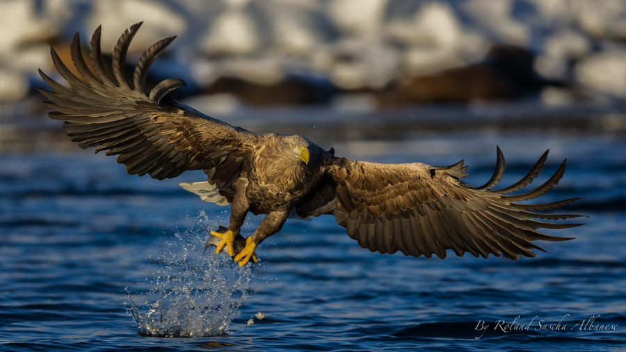 Sea Eagle by Roland Albanese on 500px.com