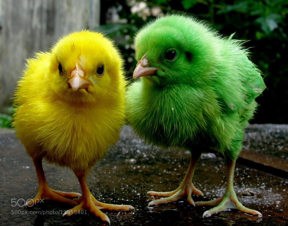 Photograph Colored Baby Chicks.... by Shikha Chauhan on 500px