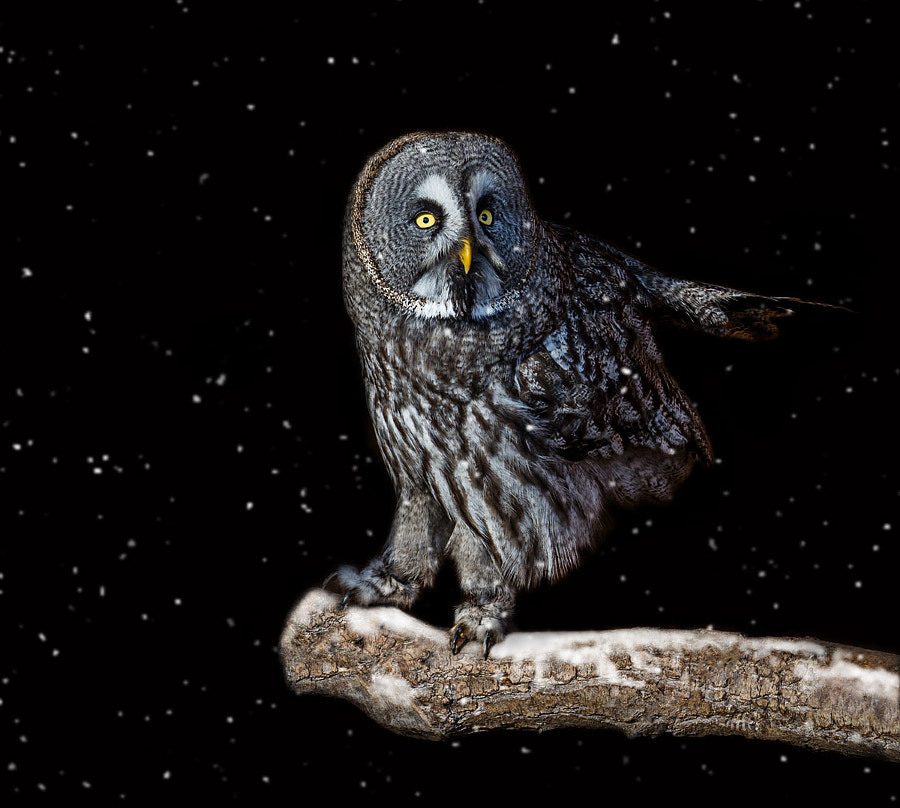 Great Grey Owl by Sylvie S on 500px.com