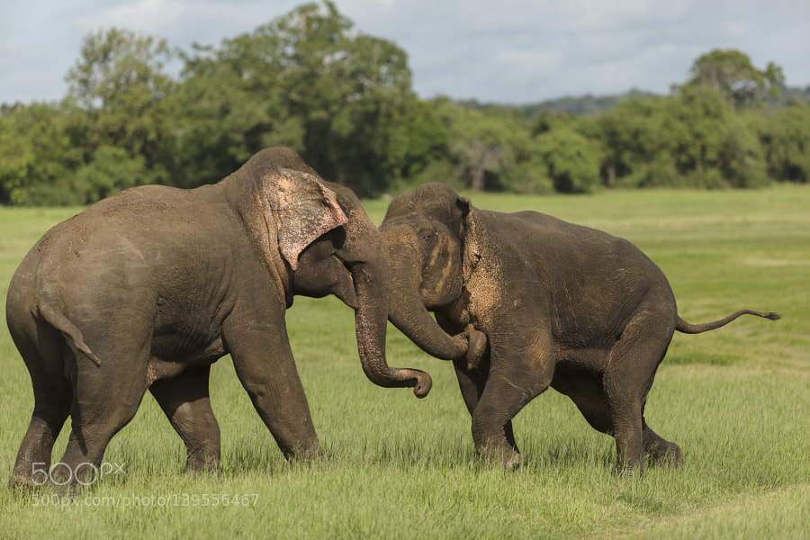Action in Musth, Canon EOS 5D MARK II, Canon EF 200-400mm f/4L IS USM