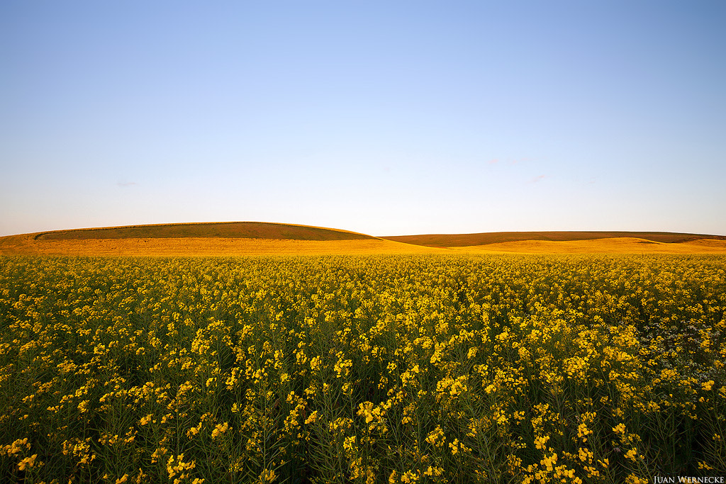 Photograph Napier Canola  by Juan Wernecke on 500px