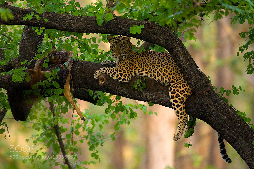 Photograph Leopard by Sudhir Shivaram on 500px