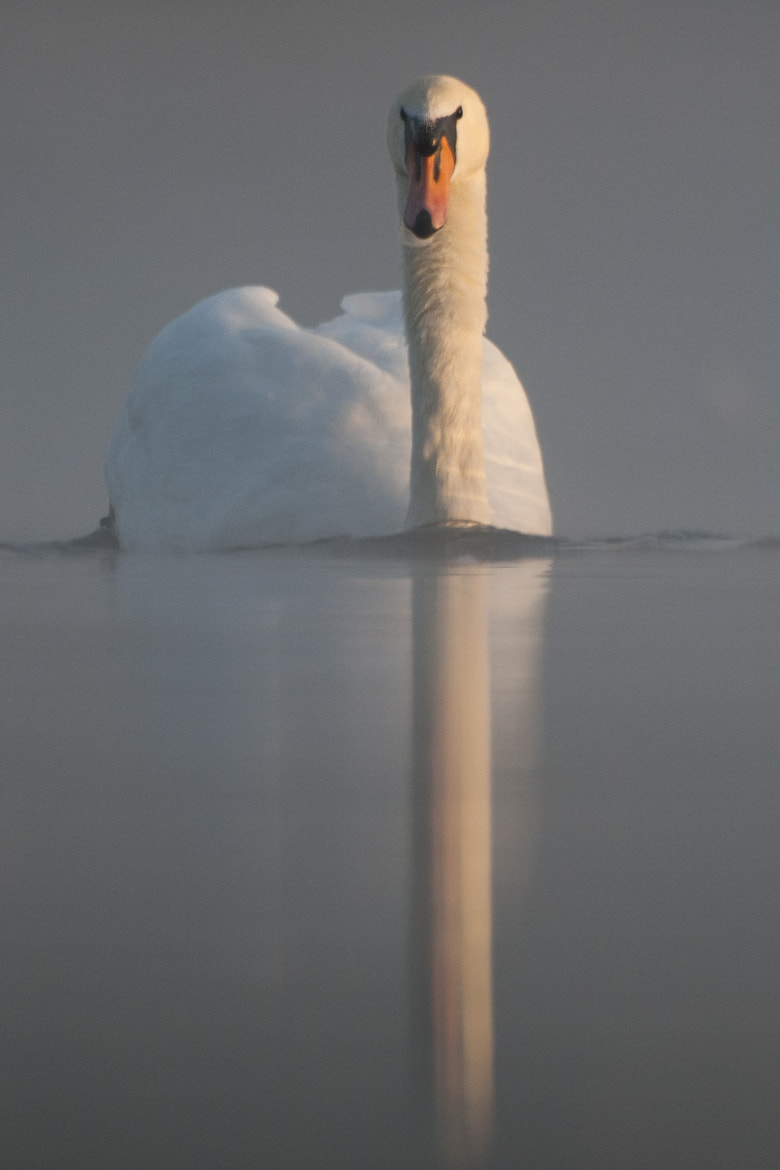 Photograph Low Angle Swan by Sam Rowley on 500px