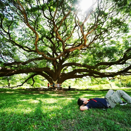 A man under largest monkey pod tree