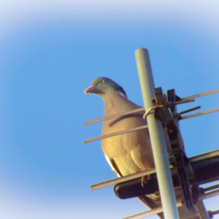 Dove on the antennae, Fujifilm FinePix S3380