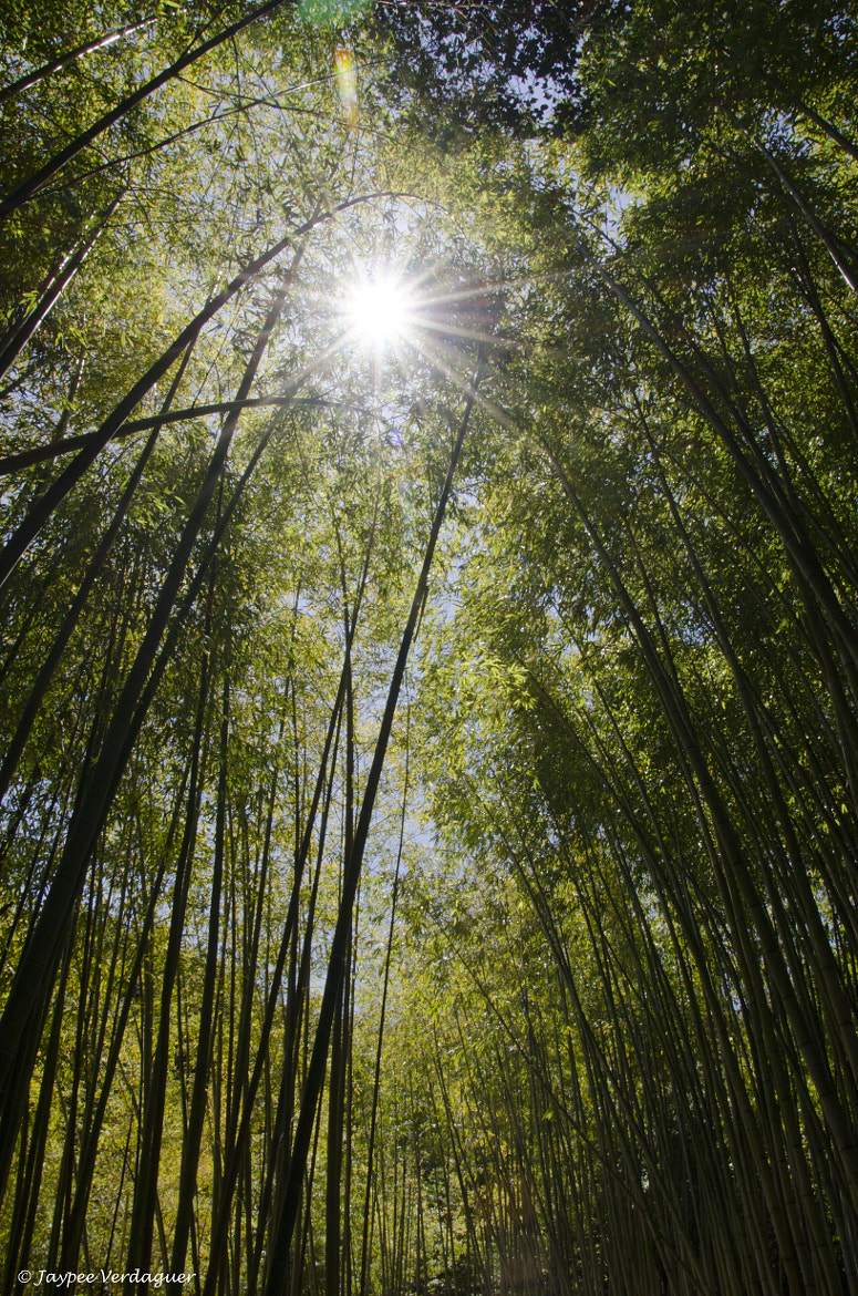 Photograph Bamboo by Jaypee Verdaguer on 500px