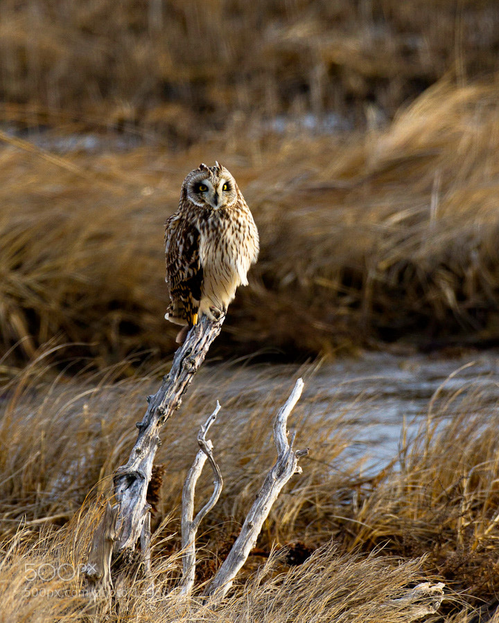 Short-eared owl keeping a watchful eye out for prey.