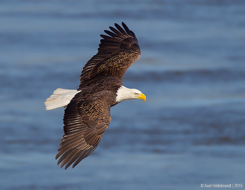 Bald Eagle by Axel Hildebrandt on 500px.com