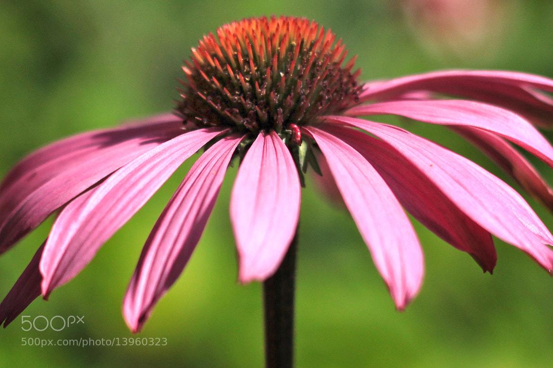 Photograph Echinacea by Karthik Gellia on 500px