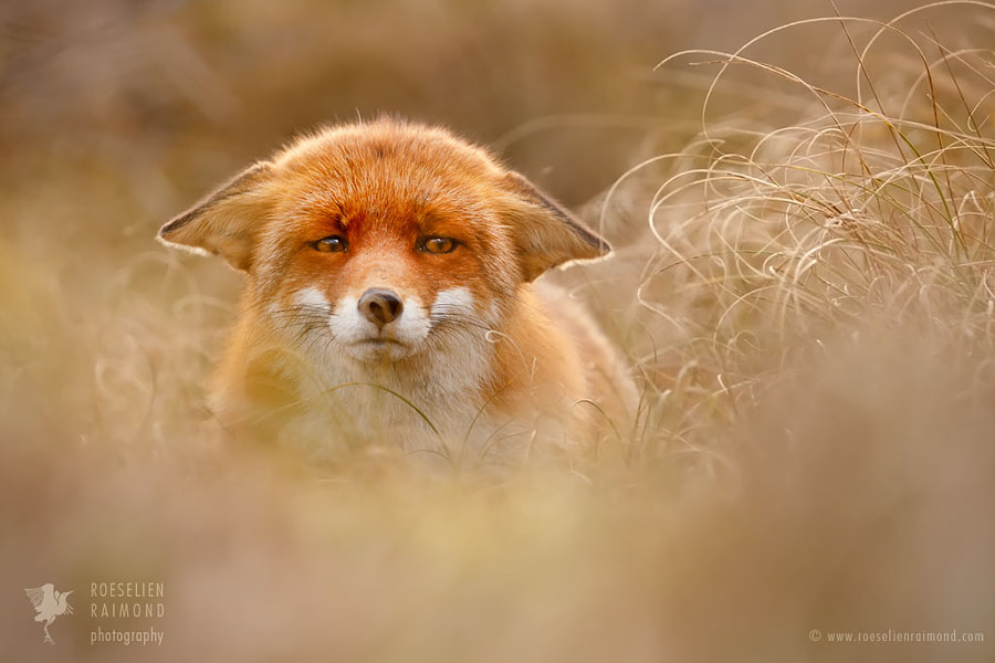Suspicious Fox by Roeselien Raimond on 500px.com