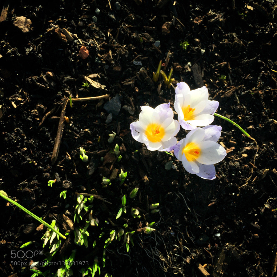 Early Crocus, trying to Spring